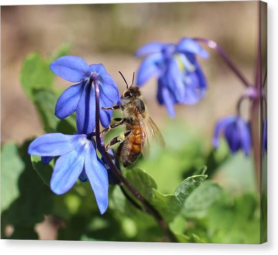 Honeybee On Siberian Squill Canvas Print