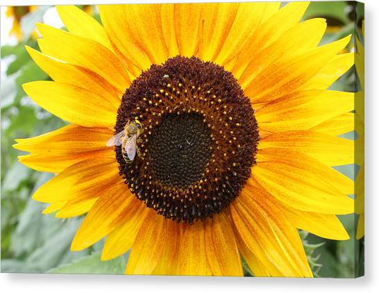 Honeybee On Small Sunflower Canvas Print