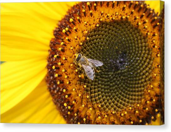 Honeybee On Sunflower Canvas Print