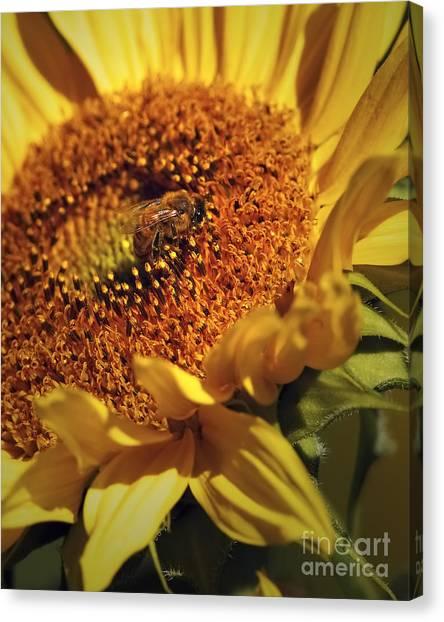 Honeybee On Sunflower Canvas Print by Sharon Talson