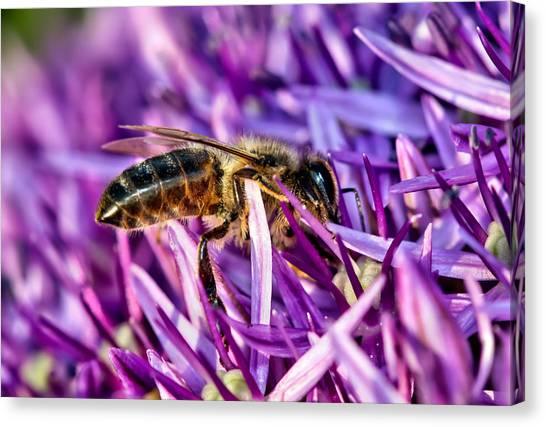 Honeybee Romping In The Garlic Canvas Print