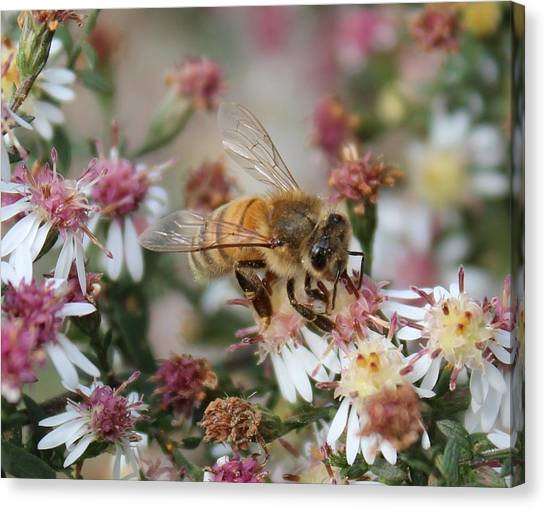 Honeybee Sipping Nectar On Wild Aster Canvas Print