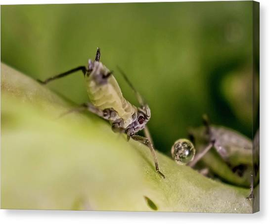 Honeydews Canvas Print - Honeysuckle Aphids by Gerd Guenther