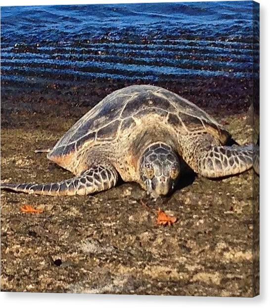 Turtles Canvas Print - Sunning Honu by Eugene Evon