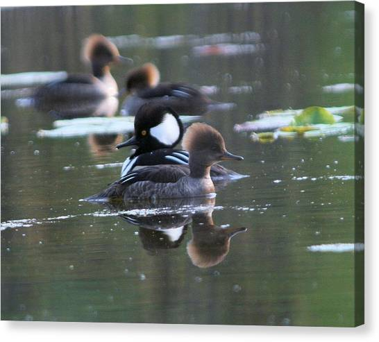Hooded Merganser Pair Crossed Canvas Print