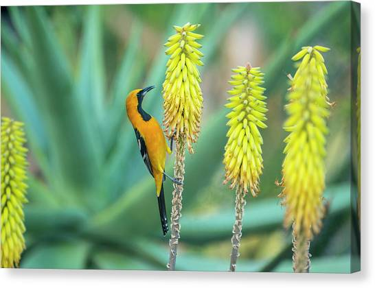 Hooded Oriole Male Feeding On A Flower Canvas Print by Gerard Soury