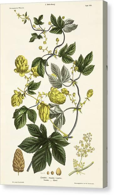 Hops Canvas Print - Hop Vine From The Young Landsman by Matthias Trentsensky