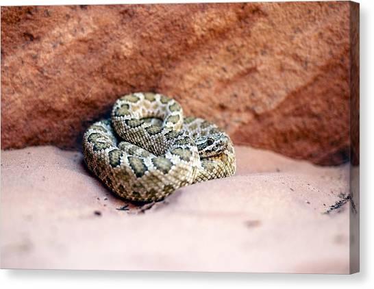 Sandy Desert Canvas Print - Hopi Rattlesnake by Science Photo Library