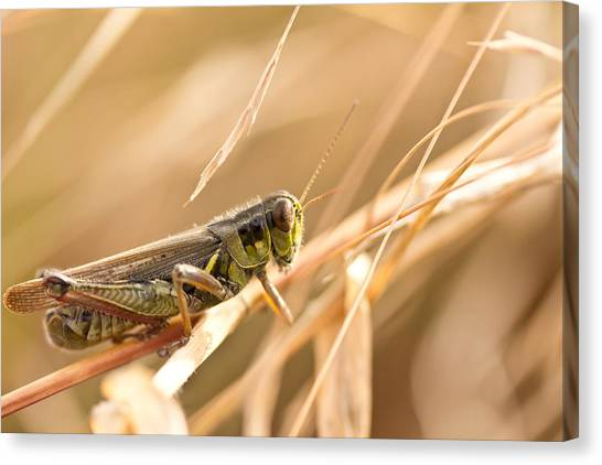 Grasshoppers Canvas Print - Hopper In Golden Grass by Shane Holsclaw