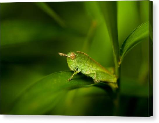 Grasshoppers Canvas Print - Hopper by Shane Holsclaw