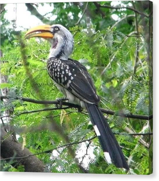 Hornbill Canvas Print - Horn Bill @ Samburu by Caleb Mnyaa