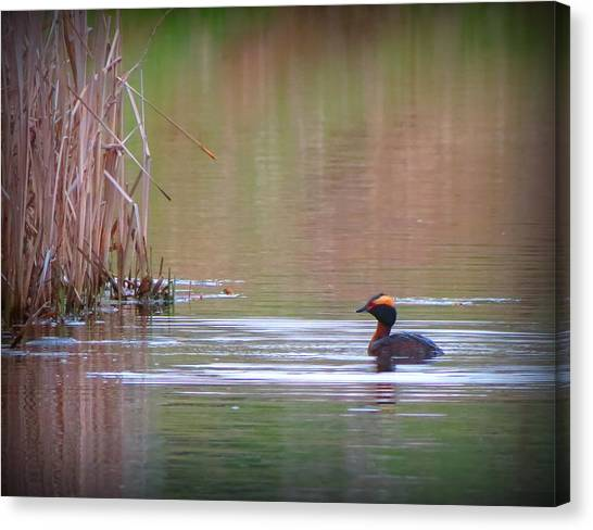 Horned Grebe Canvas Print by Marcus Moller