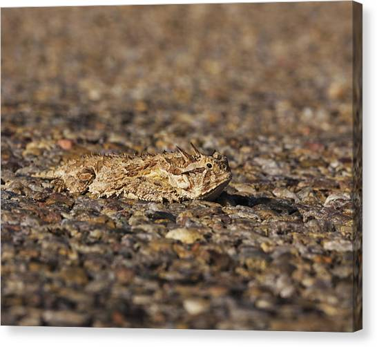 Horned Toad Canvas Print