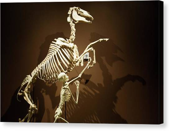 University Of Utah Canvas Print - Horse And Human Skeletons Exhibit by Jim West