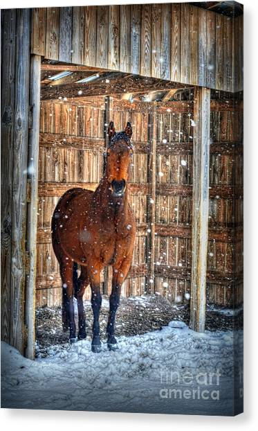 Horse And Snow Storm Canvas Print