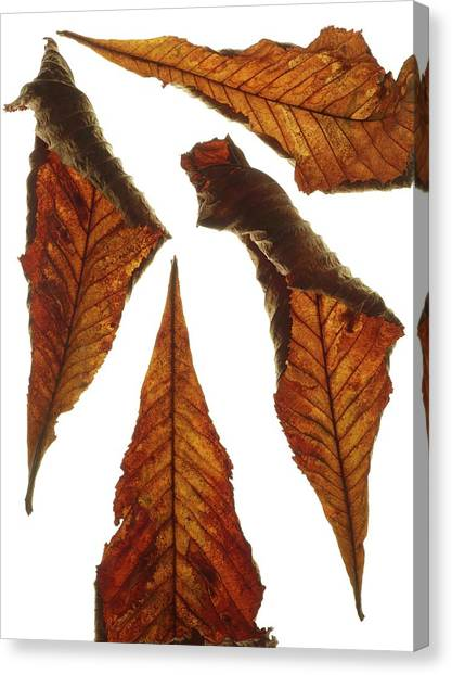 Horse Chestnut Leaves Canvas Print by Science Photo Library