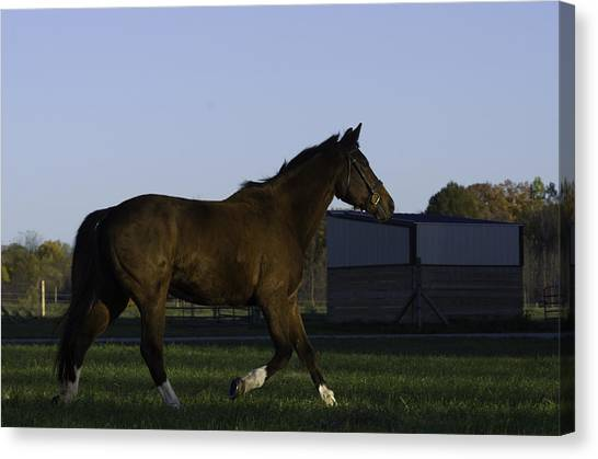 Horse In Field Canvas Print by Jason Smith