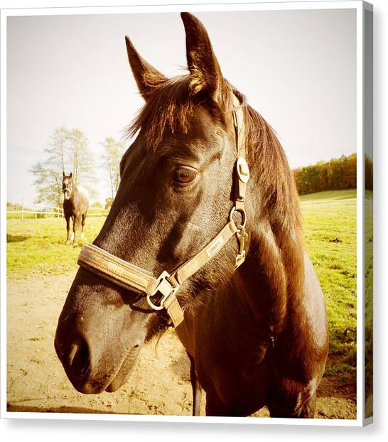 Head Canvas Print - Horse Portrait by Matthias Hauser