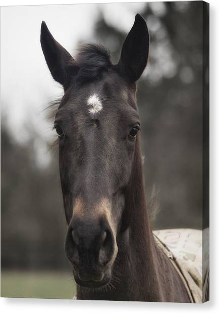 Canvas Print featuring the photograph Horse With Gentle Eyes by Belinda Greb