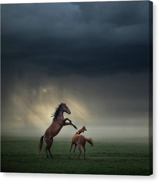 Fighting Canvas Print - Horses Fight by H?seyin Ta?k?n