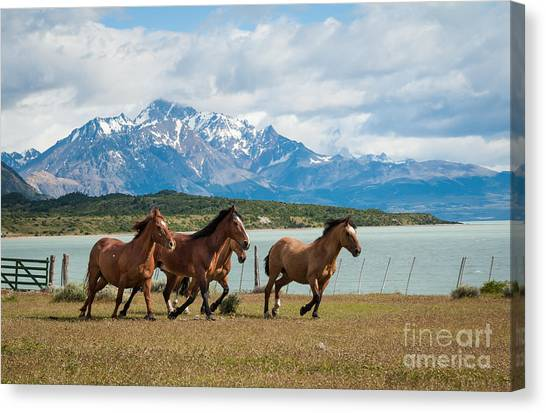 Horses Galloping In Patagonia Canvas Print by OUAP Photography