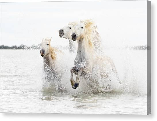 White Horse Canvas Print - Horses  Hight Key by Ciro De Simone