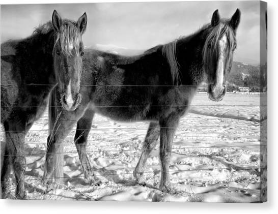 Horses In Winter Coats Canvas Print
