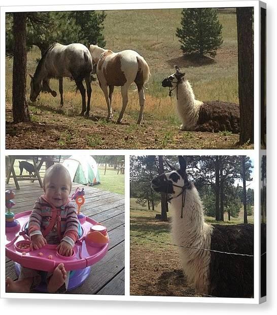 Llamas Canvas Print - Horses, Llama, And Babies #co by Alexandria Bertsch