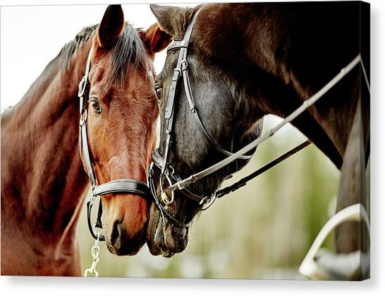 Horses Together Canvas Print by Johner Images