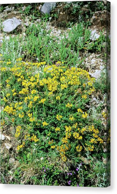Yellow vetch canvas prints fine art america yellow vetch canvas print horseshoe vetch hippocrepis comosa by bruno petrigliascience mightylinksfo