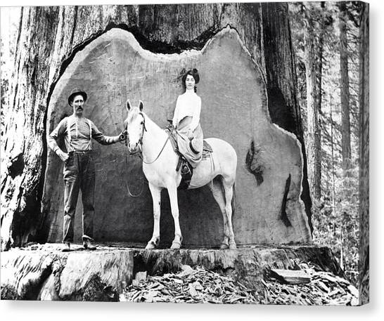 Redwood Forest Canvas Print - Horsewoman Poses In Redwood Undercut C. 1890 by Daniel Hagerman
