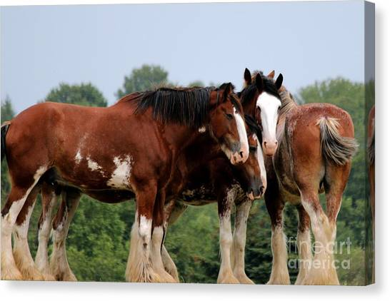 Horsie Huddle Canvas Print