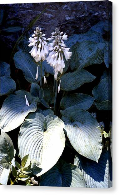Hosta In Bloom Canvas Print