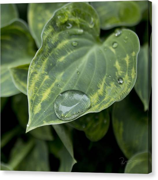 Hosta Canvas Print by Stephen Prestek