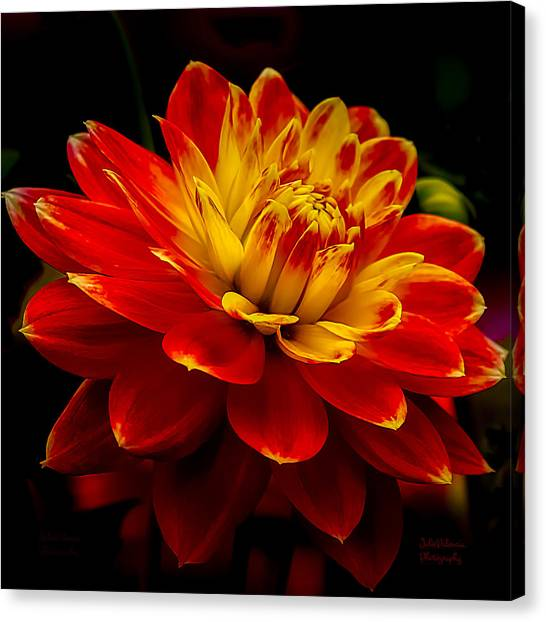 Hot Red Dahlia Canvas Print