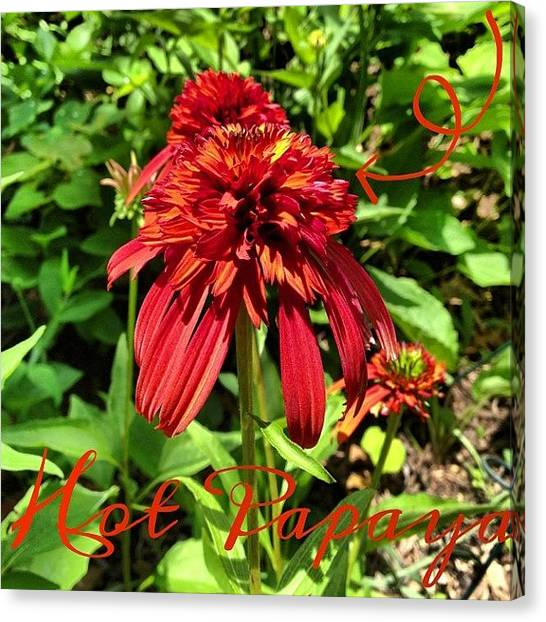Gardens Canvas Print - #hotpapaya #coneflower #red #hybrid by Teresa Mucha