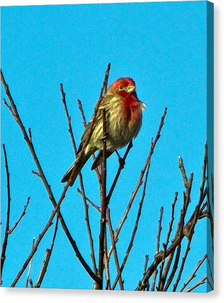 House Finch Canvas Print by Constantine Gregory