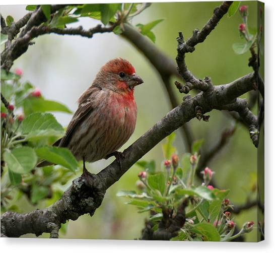 House Finch In Apple Tree Canvas Print