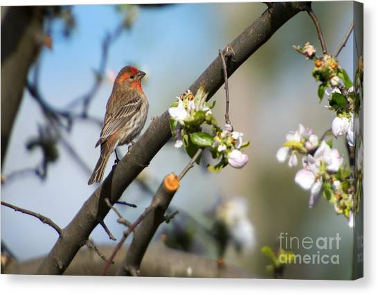 Finches Canvas Print - House Finch by Mike Dawson