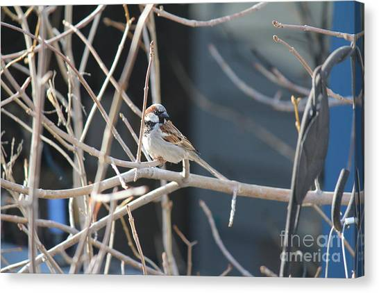 Canvas Print featuring the photograph House Sparrow by Ann E Robson