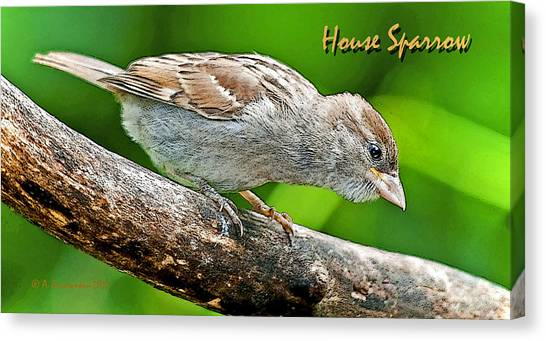 House Sparrow Juvenile Poster Image Canvas Print by A Gurmankin