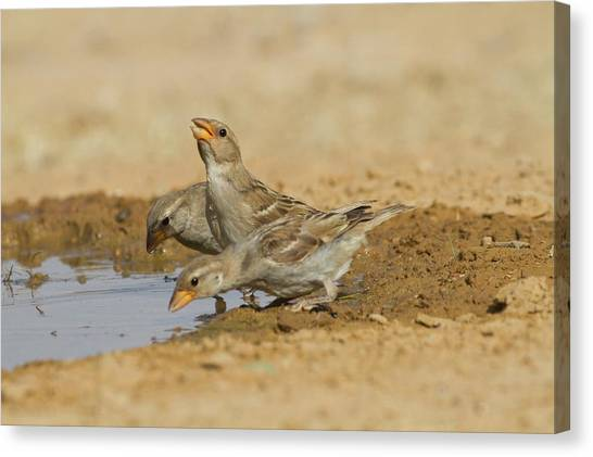 Negev Desert Canvas Print - House Sparrow Passer Domesticus Biblicus by Photostock-israel