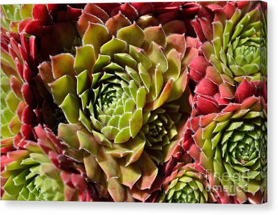 Canvas Print featuring the photograph Houseleek Group by Scott Lyons