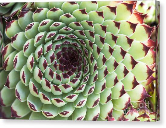 Succulent Canvas Print - Houseleek Pattern by Tim Gainey