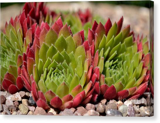 Canvas Print featuring the photograph Houseleeks Aka Sempervivum From The Side by Scott Lyons