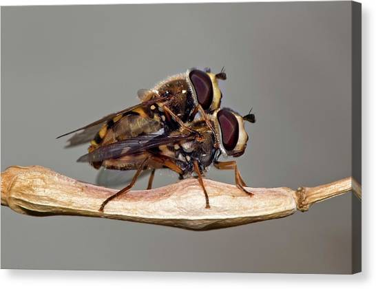 Hover Flies Mating Canvas Print by Dr. John Brackenbury/science Photo Library