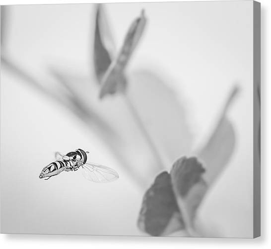 hoverfly in the pea patch B/W Canvas Print