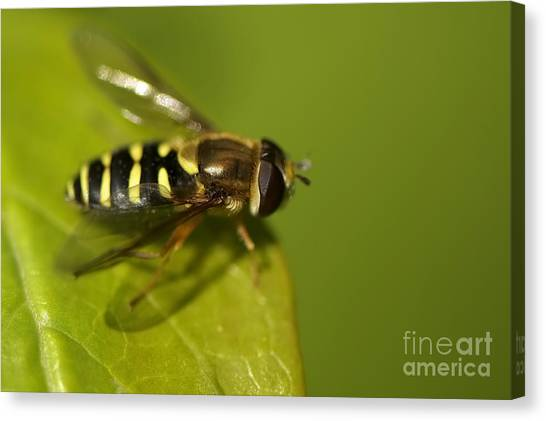 Hoverfly On A Leaf Canvas Print by Sharon Talson