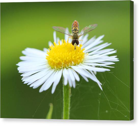 Hoverfly On Flower Canvas Print by Brian Magnier