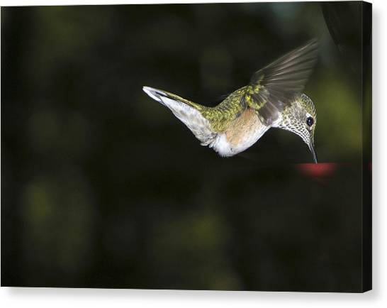Hovering Beauty Canvas Print